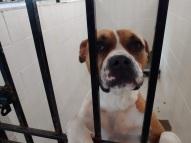 boxer pit 2 ears flat