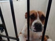 boxer pit 3 ears flat