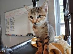 Tiger kitten 1