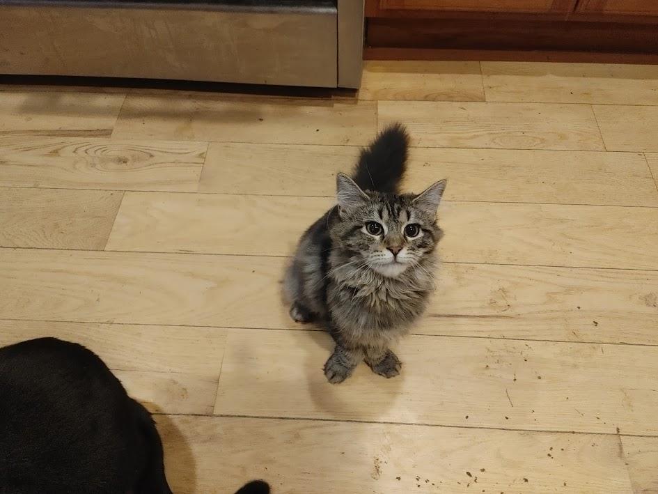 Cindy Lou Who's fat tail kitten